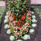 Sommerbepflanzung mit Echeverien, Eisbegonien und Streichholzfuchsie