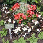 Sommerbepflanzung mit Pilea, Eisbegonien,Solenia Begonie und Euphorbiengras