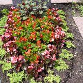 Sommerbepflanzung mit Pilea, Eisbegonien und Streichhozfuchsie